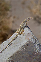 437880015 a wild long-nosed leopard lizard gambelia wislizenii sits on a rock along fish slough road in mono county california