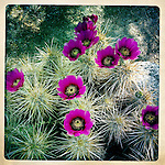 Hedgehog cactus flowers, Anza Borrego Desert, California, USA.