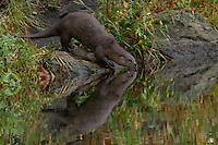 The River Otter (Lutra canadensis) reflected in fall foliage.