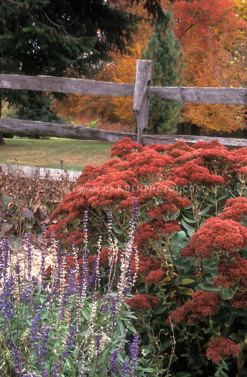 Sedum & Salvia in autumn color with post and rail fence and fall foliage trees