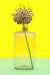 dried flower plant in old glass jar object on yellow green background