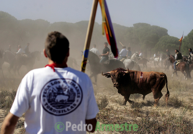 The bull watches a man with a lance on the plain opposite the village of Tordesillas as they take part in the 'El toro de la Vega' (The bull of the plain) bullfight, 13 September 2005 in Tordesillas. On the second Tuesday of September, since the fifteenth century the village has celebrated this very special bullfight. The arena of the bullfight is the plain across the river from the village and it is up to a number of young men with lances to dispute the honour of making the fatal strike. (c) Pedro ARMESTRE