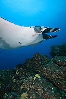QT2033-D. Manta Ray (Manta birostris). Baja, Mexico, Pacific Ocean.<br /> Photo Copyright &copy; Brandon Cole. All rights reserved worldwide.  www.brandoncole.com