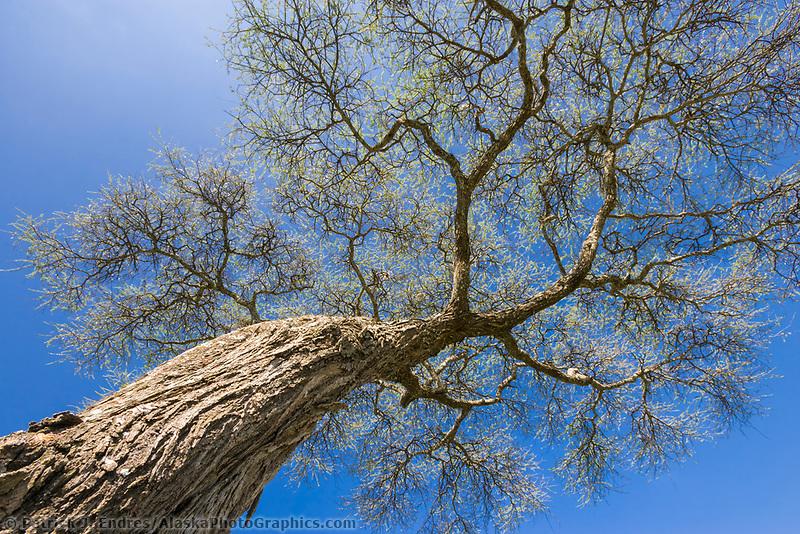 Acacia tree, Serengeti National Park, Tanzania, East Africa