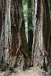 coast redwoods at Big Basin Redwoods State park