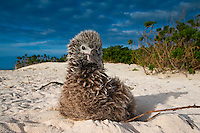 Laysan Albatross chick (Phoebastria immutabilis) sitting on beach nest, Midway Atoll, USA