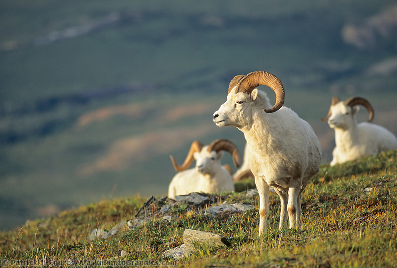 Dall sheep rams, Midnight sun, Denali National Park, Alaska.