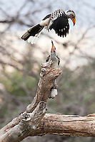 Two yellow-billed hornbills, one in flight and another perched on a tree branch, Botswana, Africa