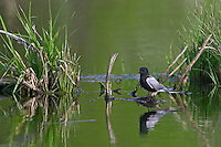 Black Terns