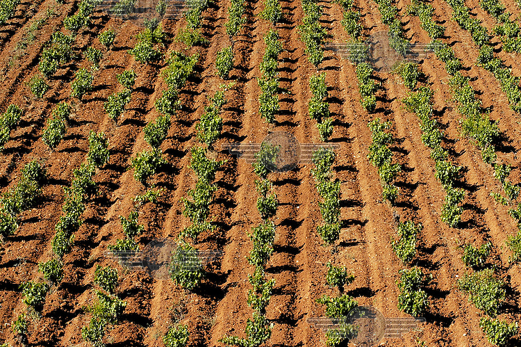 Vineyards nearby Athens airport, Eleftherios Venizelos. Before the airport was built Mesogeia was one of the biggest wine producing areas in Greece.