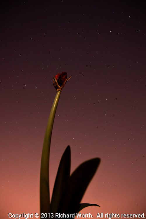 The Big Dipper floats over an amaryllis plant lit by the glow of a nearly fulll moon.