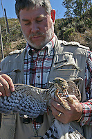 Held by GGRO Hawk Bander Nick Villa, a Cooper's Hawk displays on its left leg the band it has just received after being captured, weighed and measured.