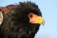 Bateleur Eagle head (Terathopius ecaudatus). Captivity.