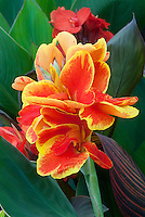 Canna Rosemond Coles flowers in orange red with yellow edge