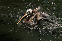 Unique among the world's seven species of pelicans, the Brown Pelican is found along the ocean shores and not on inland lakes.