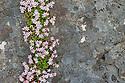 English Stonecrop (Sedum anglicum) flowering in rock fissure. Isle of Mull, Scotland, UK.