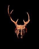 Photo of a reindeer skull