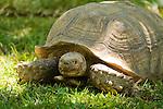Spur-thigh tortoise, Geochelone solcata. Captive at Zoo Ave, a zoo near San Jose, Costa Rica