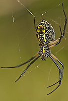 389920001 a wild black and yellow garden spider argiope aurantia sits in itw web near empire creek las cienegas natural conservation area pima county arizona united states
