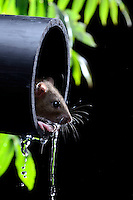 A brown rat exiting a drain pipe.