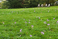 Four chairs + Colchicum speciosum fall crocus