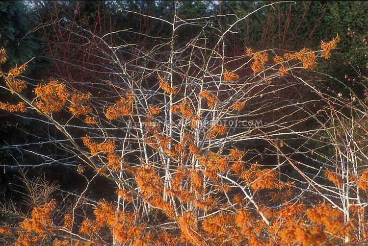 Hamamelis x intermedia Jelena aka Copper Beauty in orange red flower in winter with interest of white stems of Rubus biflorus GR3461 - Witch hazel and Silver-stemmed Bramble in winter