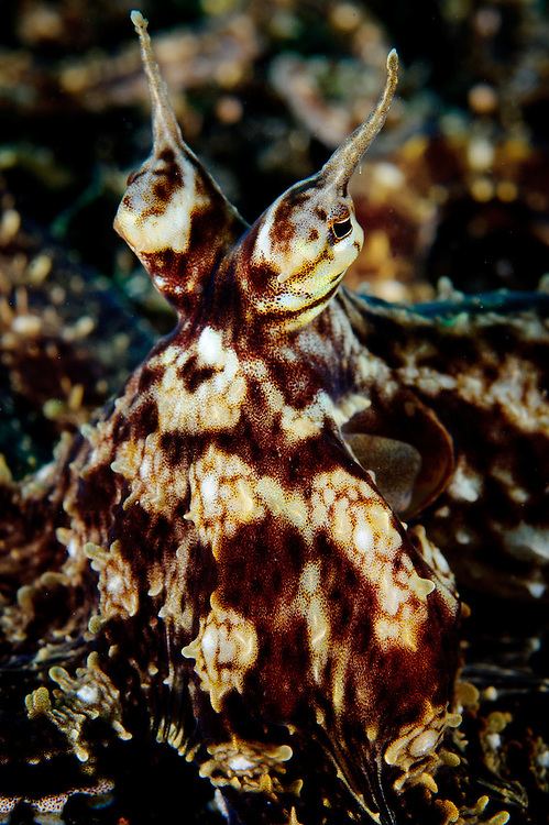 Mimic octopus (Thaumoctopus mimicus), facial view, Lembeh Strait, Indonesia