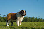 Saint Bernard<br />