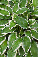 Hosta Albomarginata variegated foliage plant with cream edge and green leaves