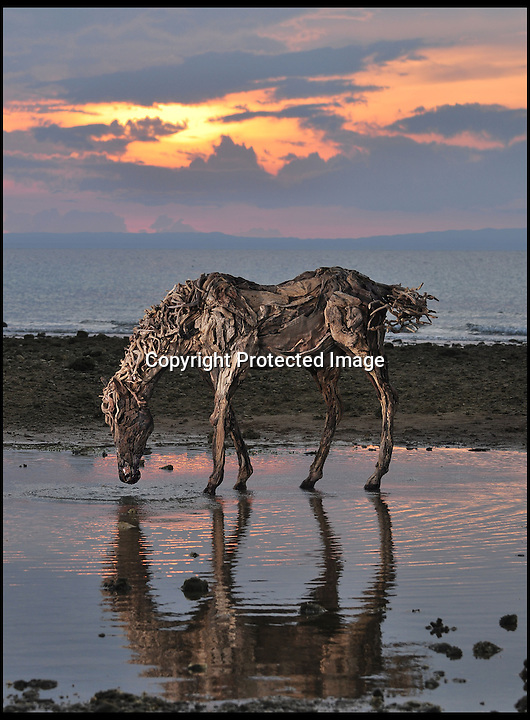 BNPS.co.uk (01202 558833)<br /> Pic: JamesDoran-Webb/BNPS<br /> <br /> ****Please use full byline****<br /> <br /> Grazing horse on Cebu beach in the Philippines.<br /> <br /> These majestic horses galloping along a white sand beach may look real - but in fact they're made from thousands of pieces of driftwood salvaged from beach.<br /> <br /> The life-size sculptures are the work of British master craftsman James Doran-Webb and took a painstaking six months to assemble.<br /> <br /> They stand at around 6ft tall - or 16 hands in horse terms - and each is made from 400 pieces of driftwood of varying sizes built around a stainless steel skeleton.<br /> <br /> They weigh half a tonne each once complete and can take the weight of five people.<br /> <br /> James cleverly makes them with moveable limbs so they can be arranged into lifelike poses.<br /> <br /> The intricate trio of horses were constructed for the Gardens by the Bay in Singapore, a nature park similar to Cornwall's Eden project.