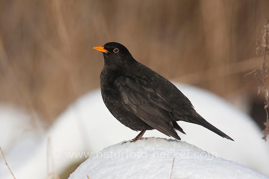 Amsel, Männchen, Schwarzdrossel, Drossel, Turdus merula, blackbird, Merle noir