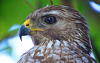 A portrait of a Red-SHouldered Hawk in a tree in Holly Hill, FL, May 18, 2011.  (Photo by Brian Cleary/www.bcpix.com)