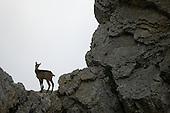 Chamois (Rupicapra rupicapra), Alps, Italy