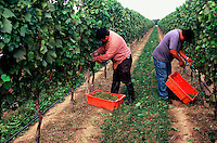 Wine Harvest, North Fork, Long Island, Peconic,  New York
