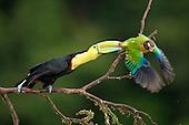 Encounter between a Keel-billed Toucan (Ramphastos sulfuratus) and a Brown-hooded Parrot (Pionopsitta haematotis) Santa Rita, Costa Rica