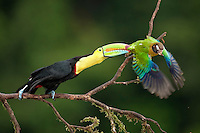Encounter between a Keel-billed Toucan (Ramphastos sulfuratus) and a Brown-hooded Parrot (Pionopsitta haematotis) Santa Rita, Costa Rica