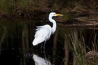 Great Egret, Korsmans Landing, Myall Lakes NP, NSW, Australia