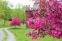 Crabapples in bloom in spring, pink, with barn