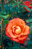 Rosa 'Marina' orange flowered rose, showing close up macro of one bloom, unusual color, stem with thorns