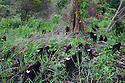 Large group of crested black macaques walking in burn-slashed area near village, (Macaca nigra), Indonesia, Sulawesi; Endangered species, threatened through loss of habitat and bush meat trade, species only occurs on Sulawesi.