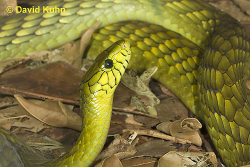 0423-1122  Western Green Mamba (West African Green Mamba), Dendroaspis viridis  © David Kuhn/Dwight Kuhn Photography