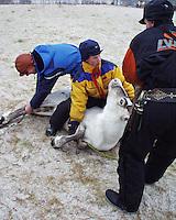 Southsami reindeer herding in Mid-Norway. Luru reinbeitedistrik (Låarte Sijte). Becquerell-måling. Radioaktivt nedfall fra Tsjernobyl-ulykken i 1986 merkes fortsatt i sørsamisk reindrift.