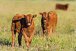 Young calves ina green field, Overberg, Western Cape, South Africa
