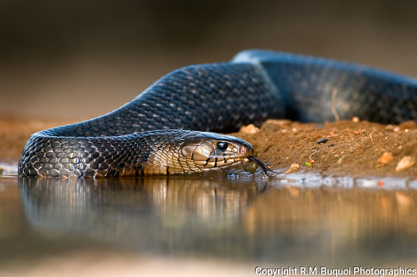 Indigo Snake