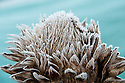 Autumn hoar frost on the flowerhead of a globe artichoke, October.