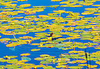 I tiny bird stands poised to pounce upon its prey. Green and yellow lily pads in blue water are its platform.