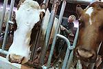 Foto: VidiPhoto<br /> <br /> DODEWAARD - Bij de eerste melkveehouders is de koeienkapsalon weer geopend. Melkveehouder Jan-Willem van Rooijen scheert woensdag samen met zijn hulp Corn&eacute; van Mourik (foto) de eerste koeien. Omdat de dieren vanaf zaterdag de hele winter op stal staan, moet hun warme jas uit. Bovendien is het korte kapsel een stuk hygi&euml;nischer dan een harig model. Mooi geschoren is niet lelijk. Terwijl de meeste boeren een koeienkapper inhuren, doet Van Rooijen het liever zelf. &quot;Het is leuk werk en bovendien bespaar ik hiermee zo'n 1000 euro.&quot; Van Rooijen heeft 140 melkoeien en het laten scheren kost ongeveer 7 euro per koe. Het scheren van de hele veestapel kost ongeveer vier werkdagen. Daarom doen Jan-Willem en Corn&eacute; dat tussen de boerenbedrijven door.