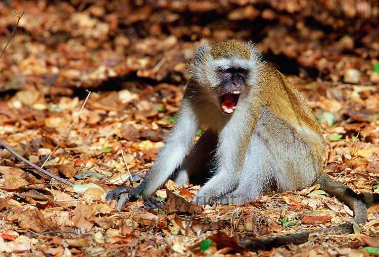 Vervet monkey displaying aggression, Zimbabwe, Africa