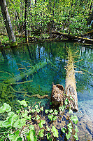 Fallen trees being fossilised in a pond . Plitvice ( Plitvika ) Lakes National Park, Croatia. A UNESCO World Heritage Site