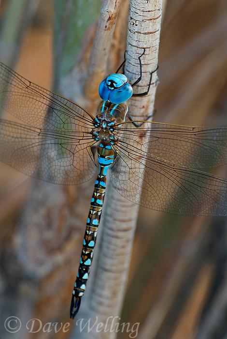 339360071 a wild male blue-eyed darner rhionaeschna multicolor perches on a plant branch along jean blanc canal near bishop califorina
